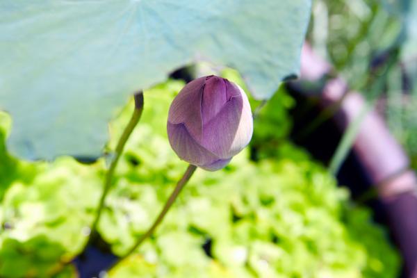 ベトナム国花の蓮